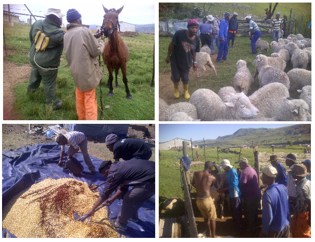 mngcunube-development-livestock-project
